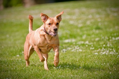 5677569-a-dog-running-fast-at-an-outside-park_400